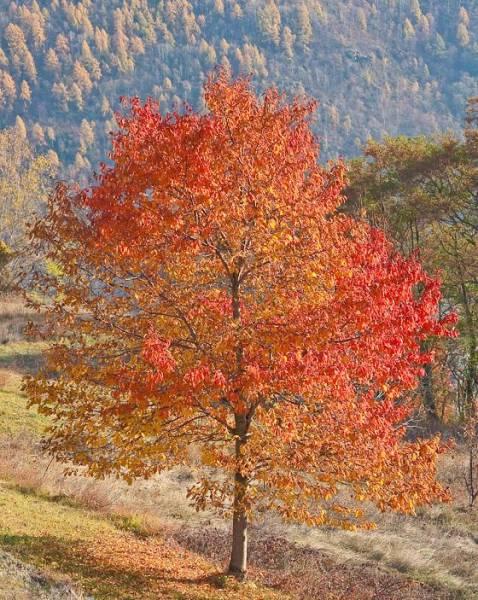 piccolo albero foglie rosse