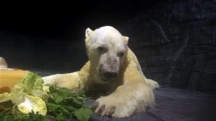 Inuka, l'orso polare nato ai tropici