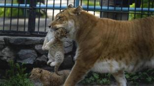 A spasso con mamma… ligre