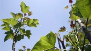 Una pianta salverà il pianeta?