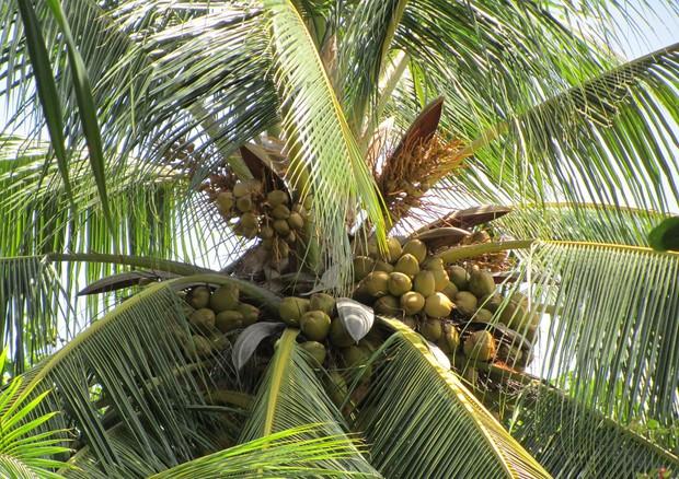 ansa palma da cocco