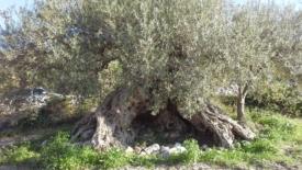 Avviata la conta degli alberi monumentali