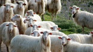 1000 pecore in regalo
