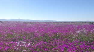 Quando fiorisce il deserto