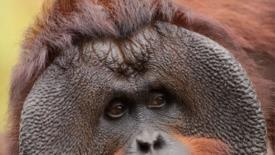 La strage silenziosa degli orangutan
