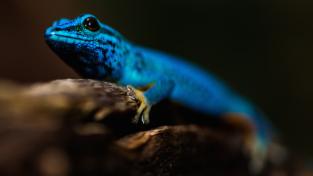Azzurro lucertola