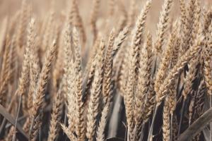 wheat-4278543_640
