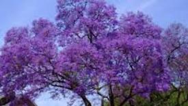 Un albero per Chiara Lubich