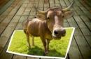 Adotta una mucca di Costalta