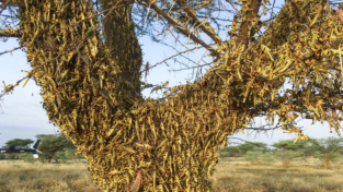 Kenya, l'invasione delle cavallette