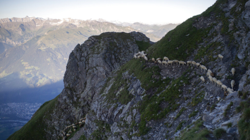 A flock of sheep crosses alpine terrain on Friday, August 7, 2020, under the