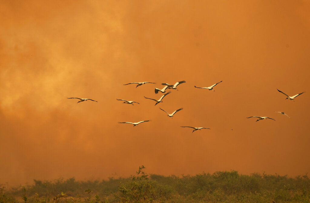 Birds fly past as a fire consumes an area next to the Transpantaneira road at the Pantanal wetlands near Pocone, Mato Grosso state, Brazil, Friday, Sept. 11, 2020. The number of fires in Brazil's Pantanal, the world's biggest tropical wetlands, has more than doubled in the first half of 2020 compared to the same period last year, according to data released by a state institute.  (AP Photo/Andre Penner)