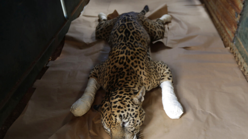 A Jaguar named Ousado, who suffered second-degree burns during fires in the Pantanal region, rests in his cage after treatment at the headquarters of Nex Felinos, an NGO aimed at defending endangered wild cats, in the city of Corumba, Goias state, Brazil, Sunday, Sept. 27, 2020. Two Jaguars, a male and a female, were rescued from the great Pantanal fire and are receiving treatment with laser, ozone therapies and cell injections to hasten recovery of burned tissue. (AP Photo/Eraldo Peres)