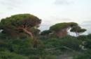 Dal Vaticano una cura naturale per salvare gli alberi di pino