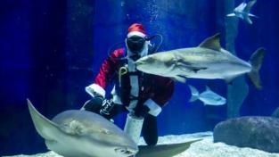 Un Babbo Natale nella vasca degli squali