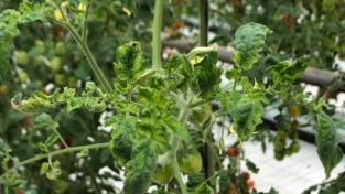 Tomato Brown, il virus del pomodoro