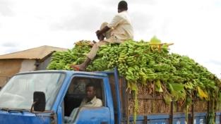 Banane africane, crescono le esportazioni