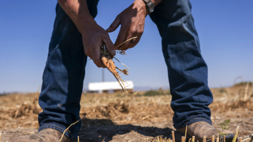 Phil Fine pulls a carrot from one of his fields in the North Unit Irrigation District after harvesting the vegetable's seeds on Tuesday, Aug. 31, 2021, near Madras, Ore. Oregon farmers who grow 60% of the world's carrot seed have been without irrigation water for weeks as drought ravages the American West. But just down the road, sprinklers douse crops and cattle graze in green pastures. The stark contrast is a consequence of the West's arcane water law, and it's brought new urgency to efforts to share the resource along Oregon's Deschutes River. (AP Photo/Nathan Howard)